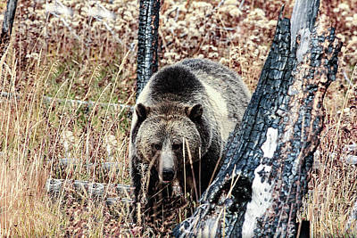 Photograph - Griz In The Park by Frank Vargo