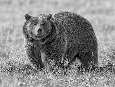 Photograph - Brutus The Bear by Scott Warner