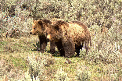 Photograph - Grizzlies In The Sage Brush by Adam Jewell