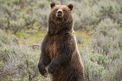 Photograph - Grizzly 399 by Steve Stuller