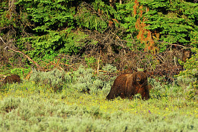 Photograph - Grizzly 399 With Cubs by Greg Norrell