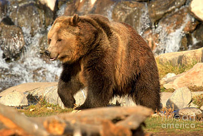 Grizzly At The Falls Art Print
