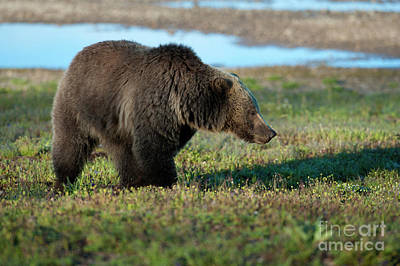 Photograph - Grizzly At Yellowstone Lake by Sandra Bronstein