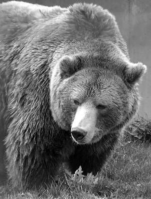 Grizzly Bear And Black And White Art Print by Tiffany Vest