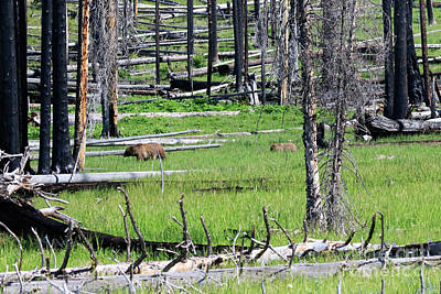 Grizzly Bear And Cub Cross An Area Of Regenerating Forest Fire Art Print by Louise Heusinkveld