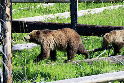 National Park Photograph - Grizzly Bear And Cub by Louise Heusinkveld