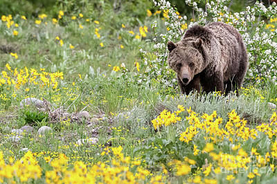 Photograph - Grizzly Bear Blondie #793 by Tibor Vari