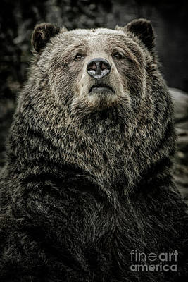 Photograph - Grizzly Bear by Brad Allen Fine Art
