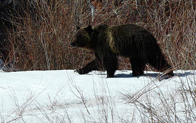 Photograph - Grizzly Bear Canadian Rockies 3 by Bob Christopher