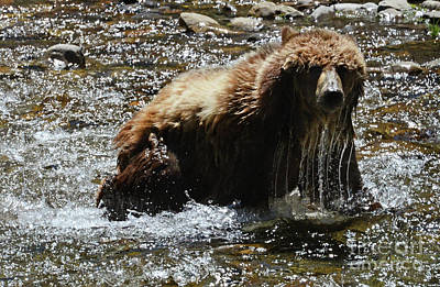 Photograph - Grizzly Bear Canadian Rocky Mountains by Bob Christopher