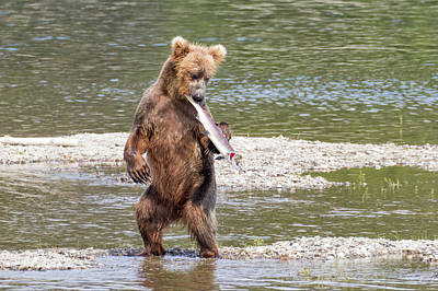 Photograph - Grizzly Bear Fish Dance by Phil Stone