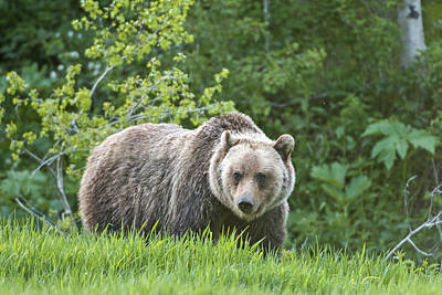 Print featuring the photograph Grizzly Bear by Gary Lengyel
