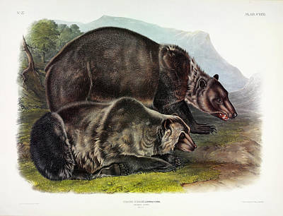 Kodiak Painting - Grizzly Bear by John James Audubon