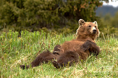 Photograph - Grizzly Bear Lunch Break by Adam Jewell