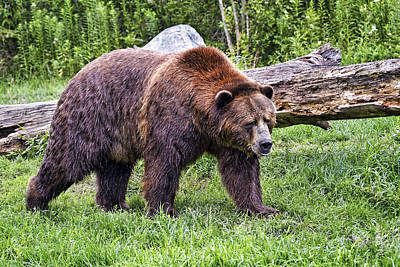 Outstanding Photograph - Grizzly Bear by Marcia Colelli