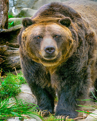 Hump Photograph - Grizzly Bear Nature Wear     by LeeAnn McLaneGoetz McLaneGoetzStudioLLCcom