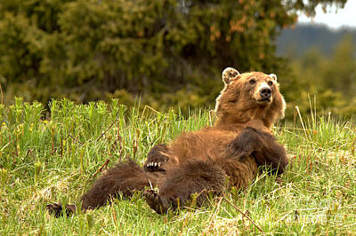 Photograph - Grizzly Bear Relaxing In Paradise by Adam Jewell