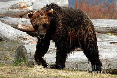 Photograph - Grizzly Bear Seward Alaska 1 by Bob Christopher