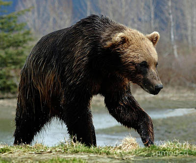 Photograph - Grizzly Bear Seward Alaska 2 by Bob Christopher