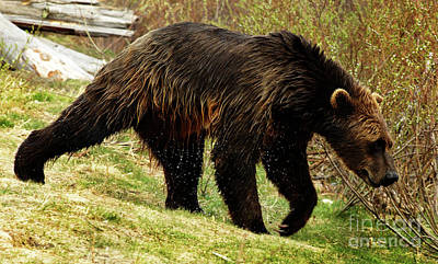 Photograph - Grizzly Bear Seward Alaska 3 by Bob Christopher