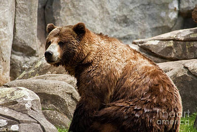 Photograph - Grizzly Bear Sitting Down by Jill Lang