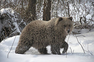 Photograph - Grizzly Bear by Stephen J Krasemann