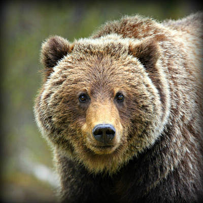 Photograph - Grizzly Bear by Stephen Stookey