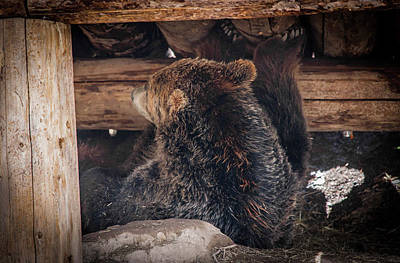 Grizzly Bear Under The Cabin Art Print by Dan Pearce
