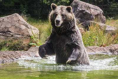 Photograph - Grizzly Bear Wading by Suzanne Luft