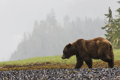 Prince Rupert Photograph - Grizzly Bear Walking On Shore by Robert Postma