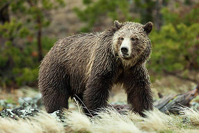 Photograph - Grizzly Bear by Wesley Aston