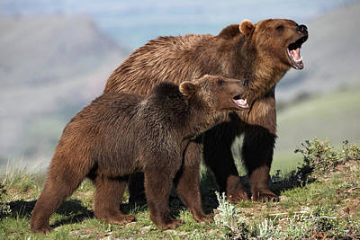 Photograph - Grizzly Bear With Cub by Tim Fitzharris