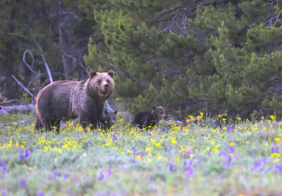 Photograph - Grizzly Bear With Cubs In Grand Teton National Park by Dan Sproul