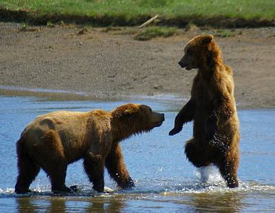 Bear Photograph - Grizzly Bears Fighting In The River by Patricia Twardzik