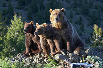 Photograph - Grizzly Bears by Tim Fitzharris