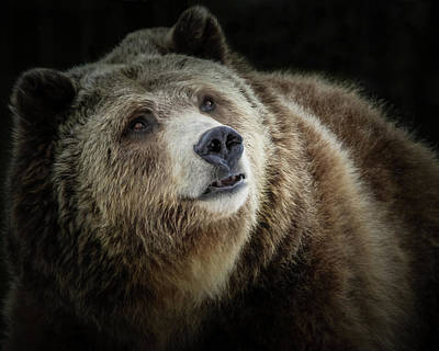 Photograph - Grizzly Close Up by Athena Mckinzie