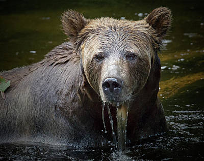 Photograph - Grizzly Close Up by Randy Hall