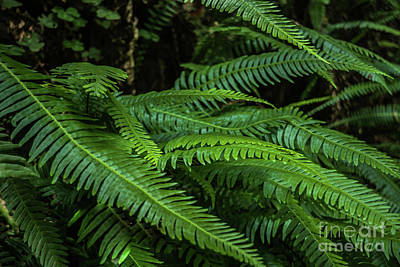 Photograph - Grizzly Creek Redwoods Ferns by Blake Webster