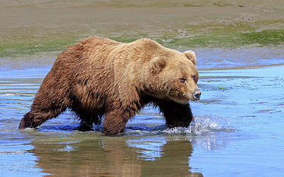 Photograph - Grizzly Crossing by Jack Bell