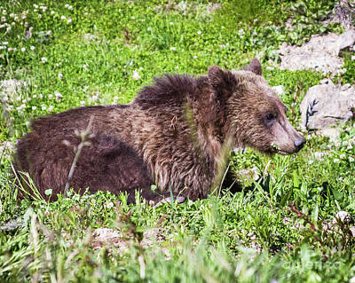 Photograph - Grizzly Cub  by Brandon Bonafede