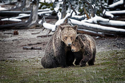 Photograph - Grizzly Cub Cuddling With Mother by Scott Read