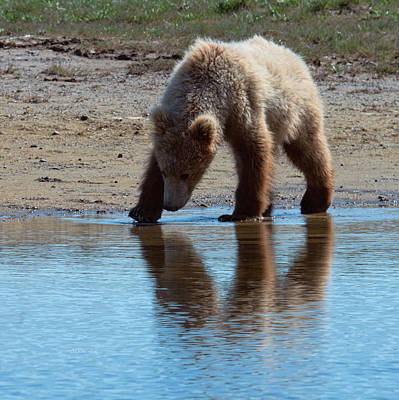 Digital Art -  Grizzly  Cub Drinking From Stream In Katmai National Park by OLena Art Brand