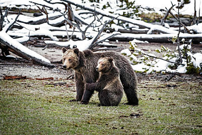 Photograph - Grizzly Cub Holding Mother by Scott Read