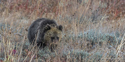 Photograph - Grizzly Cub In Autumn by Yeates Photography