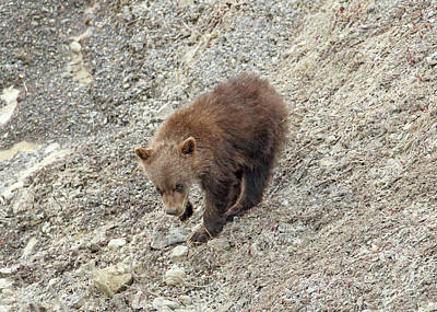 Photograph - Grizzly Cub by Jean Clark
