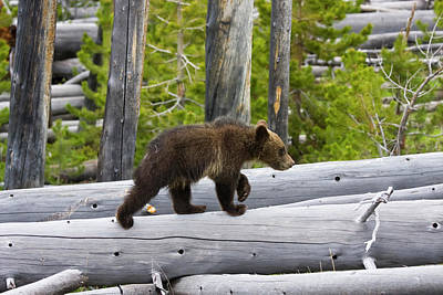 Photograph - Grizzly Cub by Mark Miller