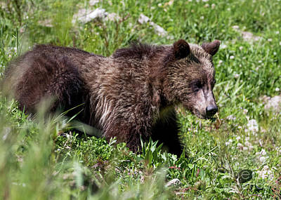 Photograph - Grizzly Cub  by Vincent Bonafede