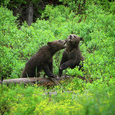 Photograph - Grizzly Cubs by Greg Norrell