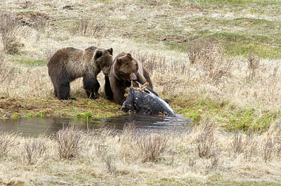 Photograph - Grizzly Dinner by Steve Stuller