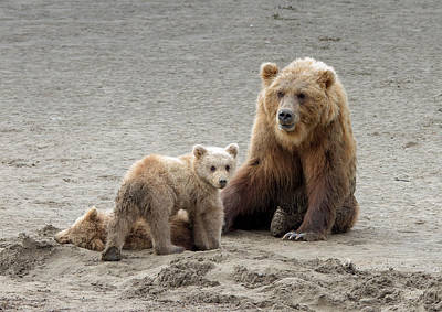 Photograph - Grizzly Family by Phil Stone